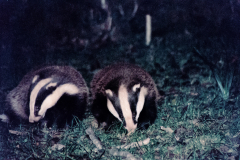 Badger Watch